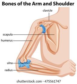 Bones of the arm and shoulder illustration