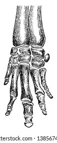 Bones of Coney Foot showing gradual reduction in number and consolidation of bones, vintage line drawing or engraving illustration.
