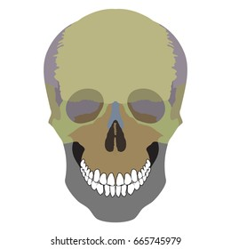 The bones of the cranium, the bones of the head, skull. The individual bones and their salient features in different colors.