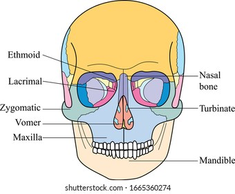 Bones of the face. Parts and anatomy of the human skull. Skull diagram.