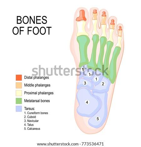 Bones Foot Human Anatomy Diagram Shows Stock Vector (Royalty Free ...