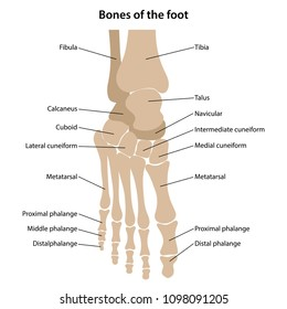 Bones of the foot with main parts labeled. From above view. Vector illustration