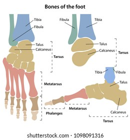 Bones of the foot with main parts labeled and colored. From above, back and medial views. Vector illustration