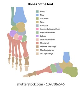 Bones of the foot with main parts labeled and colored. From above and medial views. Vector illustration