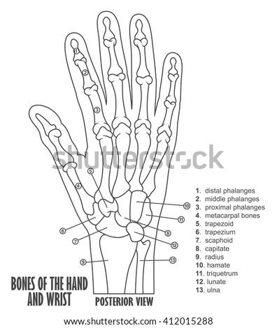 Bones Hand Wrist Anatomy Stock Vector (Royalty Free) 412015288 ...