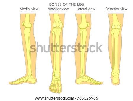 Bones Human Leg Different Views Posterior Stock Vector (Royalty Free ...