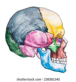 Bones of the human skull. Skull vector illustration. Anatomy medical. The bones of the skull anatomy.