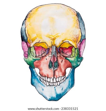 Bones Human Skull Skull Vector Illustration Stock Vector Royalty