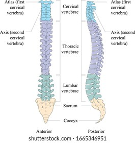 Bones of the vertebral column. All parts and anatomy of the human spine.