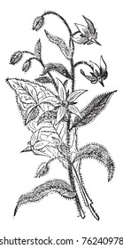 Borage also known as  Borago officinalis, flowers, vintage engraved illustration of Borage flowers isolated against a white background.