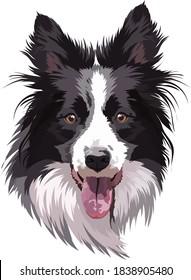 Border collie portrait, vector illustration. Head, muzzle, smart dog