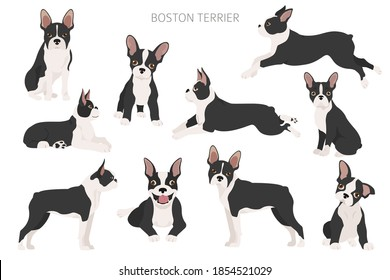 Boston terrier clipart. Different poses set. Adult and boston terrier puppy. Vector illustration