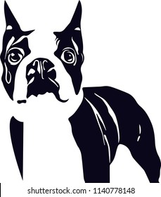 Boston Terrier dog breed pet