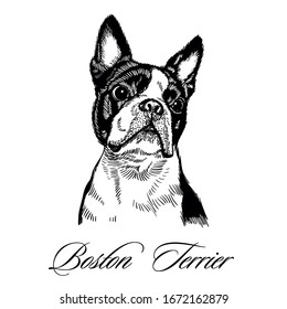 Boston Terrier hand drawn isolated vector illustration