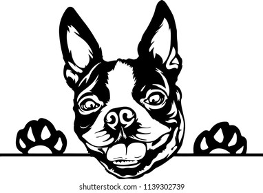 Boston Terrier lap dog breed face head isolated pet animal domestic pet canine puppy purebred pedigree hound portrait peeking paws smiling smile happy art artwork illustration design set