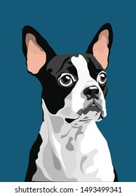 Boston terrier vector illustration on teal blue background