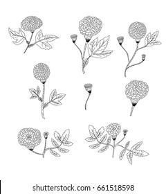 Botanical of Marigold flower vector set