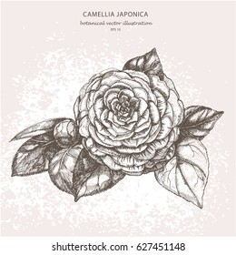 Botanical vector illustration of a garden decorative flower Camellia japonica on a light background. Hand drawing.
