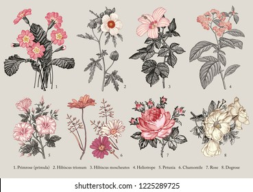 Botany. Set vintage medical realistic isolated flowers. Nature baroque. Drawing engraving. Vector background victorian Illustration Primrose primula Hibiscus Heliotrope Petunia Chamomile Rose Dogrose