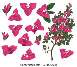 Bougainville plant of Mexico, isolated vector bougainvillea branch, pink flowers and green leaves. Exotic Mexican blossoms, evergreen plant growing in Peru and South America, realistic 3d icons set