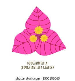 Bougainvillea flat vector botanical illustration. Hand drawing of exotic, tropical flower. Isolated primavera clipart with typography. Icon, logo design element for florist shop business