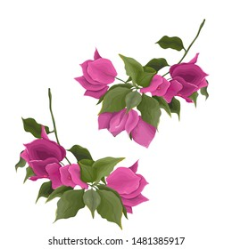 Bougainvillea flower branches. Flowers on a white background