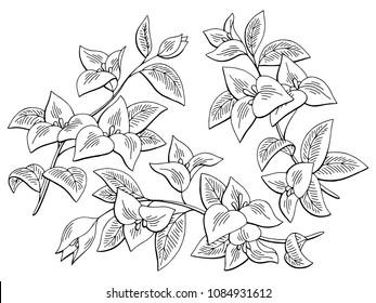 Bougainvillea flower graphic black white isolated sketch set illustration vector