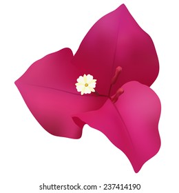 bougainvillea flower isolated on the white background mesh