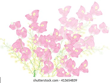 Bougainvillea pink flowers on white background isolated
