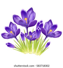 Bouquet of crocus on a white background.