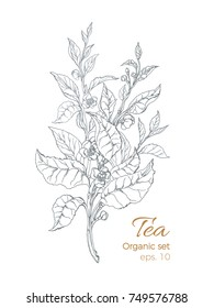 Bouquet of realistic branches with leaves and flowers. Vector illustration on white background. Botanical drawing sketch of tea bush, hatch. Organic food. Vintage design nature motifs. Eps.10