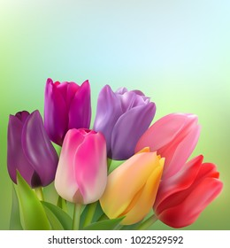 Bouquet of red, yellow, pink, purple and lilac tulips on a light green background. Vector illustration with Photo realistic delicate spring flower with place for congratulation text.