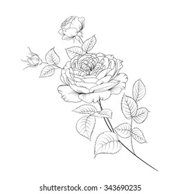 Bouquet of roses isolated on white background. Vector illustration. Flower roses on white background. Mop head roses flower isolated against white. Beautiful colored flowers.Vector illustration.