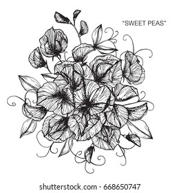 Bouquet of Sweet peas flowers drawing and sketch with line-art on white backgrounds.