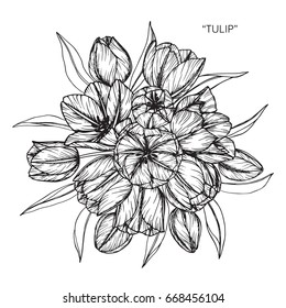 Bouquet of Tulip flowers drawing and sketch with line-art on white backgrounds.