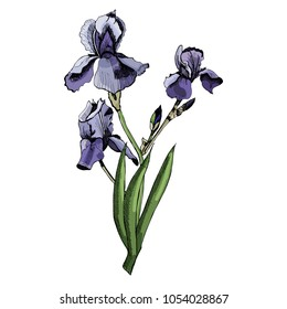 Bouquet with violet iris flowers with leaves. Hand drawn and  colored sketch isolated on white background. Vector illustration.