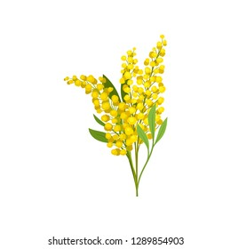 Bouquet of yellow mimosa. Beautiful fluffy flowers. Garden plant. Nature theme. Detailed flat vector design