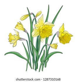 Bouquet of yellow narcissus with green leaves. Posters, textile etc. Cartoon narcissus vector illustration. Daffodil flower or narcissus isolated on white background cutout. Doodle