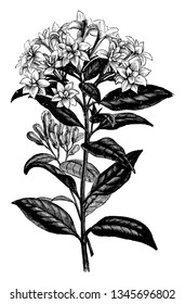 Bouvardia Alfred Neuner is flowering Shrub. Many petals layer on flowers and leaves are ovate shaped and opposites arranged, vintage line drawing or engraving illustration.