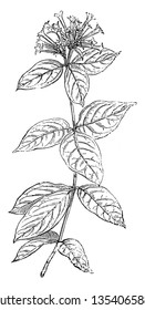 Bouvardia Leiantha is species of flowering plants in the Rubiaceae family. Ovate shaped leaves along the stem. Many clusters of flowers are at the top, vintage line drawing or engraving illustration.