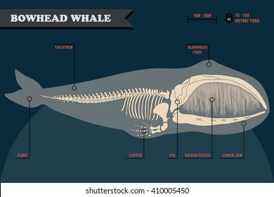 Bowhead whale skeleton with name of different parts of the body on dark background.
