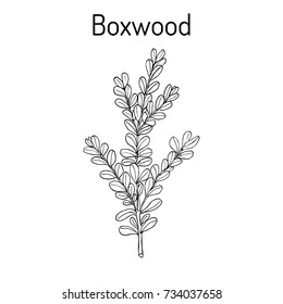 Boxwood (Buxus sempervirens), or European box, medicinal plant. Hand drawn botanical vector illustration