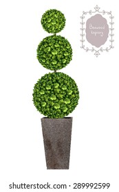 Boxwood topiary, garden plant, vector background. Tree in flowerpot. Shrub for landscape.