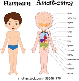Boy unclothed isolated on white. Human anatomy for kids. Names of internal organs