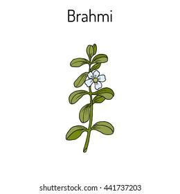 Brahmi (Bacopa monnieri ) or waterhyssop, thyme-leafed gratiola, water hyssop, herb of grace, Indian pennywort. Medicinal plant. Hand drawn botanical vector illustration