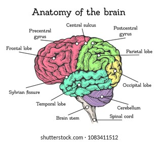Brain anatomy color scheme. Brain divided into areas with description, bright units of forebrain, midbrain, hindbrain. Vector flat style cartoon illustration isolated on black background