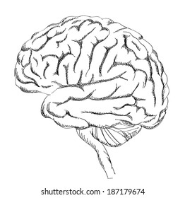 Brain anatomy. Human brain lateral view. Sketch illustration isolated on white background.