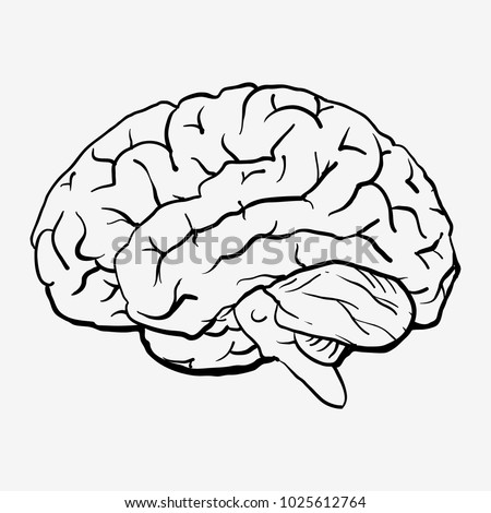 Brain Anatomy Human Brain Side View Stock Vector Royalty Free