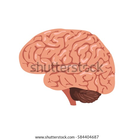 Brain Anatomy Icon Human Internal Organs Stock Vector Royalty Free