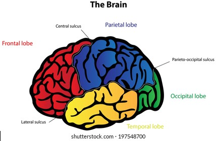 Human brain anatomy diagram sections head stock vector 1012846585 brain anatomy labeled diagram ccuart Image collections